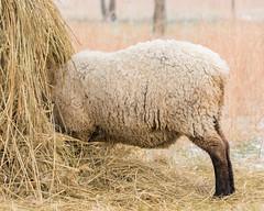 Hungry Sheep - National Colonial Farm Park MD (BrutcherSP) Tags: maryland accokeek nationalcolonialfarm ovis endangered breed rare hogisland wool livestock farmanimal sheep snow snowing colonial pioneer farm