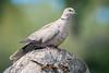Eurasian Collared-Dove (Becky Matsubara) Tags: bird birds dove mexico valladolid yucatan streptopeliadecaocto eucd eurasiancollareddove collareddove