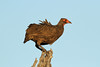 Pternistis swainsonii (Swainson's Spurfowl) - South Africa (Nick Dean1) Tags: pternistisswainsonii spurfowl swainsonsspurfowl animalia chordata aves thewonderfulworldofbirds birdperfect birdwatcher bird krugernationalpark southafrica satara canon 600mm wildlifecanon600mmf4