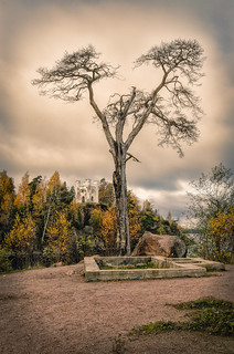 A dry pine-tree in the Monrepos park in Vyborg.