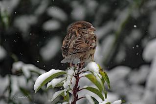 Musje / Sparrow