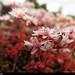 20150711_10 Little pink-white flowers (Sedum sp.) | Trail between Herrvik & Sysne, Gotland, Sweden