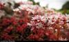 20150711_10 Little pink-white flowers (Sedum sp.) | Trail between Herrvik & Sysne, Gotland, Sweden (ratexla) Tags: ratexla'sgotlandtrip2015 herrviksysneleden gotland 11jul2015 2015 canonpowershotsx50hs herrvik sysne sweden sverige scandinavia scandinavian europe beautiful earth tellus photophotospicturepicturesimageimagesfotofotonbildbilder europaeuropean summer travel travelling traveling norden nordiccountries roadtrip journey vacation holiday semester resaresor landscape nature scenery scenic ontheroad sommar plant plants pretty cool biology botany wild vild vilda life organism växt växter flower flowers blomma blommor macro makro pink rosa bokeh photosbyjosefinestenudd ratexla catchycolorsred almostanything unlimitedphotos favorite sedum sedumsp fetknopp