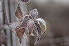 Restons groupés...! (minelflojor) Tags: givre branche feuille macro bokeh hiver froid frost branch leaf cold winter