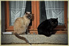 la strana coppia / the odd couple (frank28883) Tags: gatto gatti gattonero cats cat gato gatos chat chats