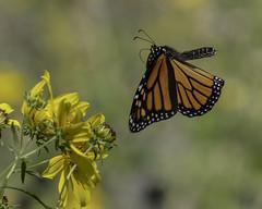 MonarchButterfly_SAF2351 (sara97) Tags: danausplexippus butterfly copyright©2017saraannefinke endangered insect missouri monarch monarchbutterfly nature photobysaraannefinke pollinator saintlouis flight inflight flying