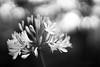 Dramatic Agapanthus (Daniela Romanesi) Tags: parepracontemplar 7825 dramatic flower agapanthus agapanthusafricanus africans bw pb blackandwhite blackwhite floral florescer garden jardim bokeh