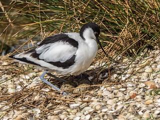 Avocet on eggs - Recurvirostra avosetta