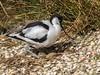 Avocet on eggs - Recurvirostra avosetta (ArtFrames) Tags: avocet eggs recurvirostra avosetta uk birds east anglia sanctuary colour