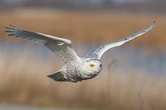 Snowy Owl - Bubo scandiacus (Bill VanderMolen) Tags: buboscandiacus snowyowl snowyowlinflight birdinflight owl fishpointswa michigan 1000views onethousandviews