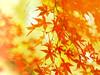 orange wind blew (Tomo M) Tags: windy autumncolors redleaves 紅葉 momiji light nature outdoor 豪徳寺 orange blur bokeh