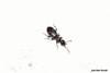 Anthicus cf. tristis W. L. E. Schmidt, 1842 (Jesús Tizón Taracido) Tags: coleoptera polyphaga cucujiformia tenebrionoidea anthicidae anthicinae anthicini anthicustristis