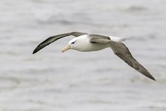 The beautiful flyer- Black-browed Albatross (Chantal Jacques Photography) Tags: blackbrowedalbatross mollymawk wildandfree bokeh depthoffield