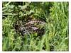 B57I0028-Snake-in-the-grass (duncancooke.happydayz) Tags: vipera berus viper snakes snake adder hay bridge reptile reptiles uk british wildlife