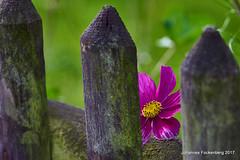 Versteckt am Gartenzaun (grafenhans) Tags: sony alpha 68 a68 alpha68 carl zeiss cz carlzeissjena sonnar 35135 gartenzaun zaun blüte herbst farben color grafenwald bottrop nrw natur blume blüten