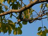 _1290066 social flycatcher (2) (archaeologist_d) Tags: honduras birdwatching haciendasanlucas socialflycatcher