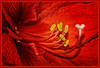 Amaryillis a dream in red ..... (scorpion (13)) Tags: pistil an amaryllis blossom macro flower nature plnt color creative experimental frame light things winter photoart