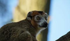 Crowned Lemur (Wim van Bezouw) Tags: crownedlemur zoo sony ilce7m2 tamron 150600mm