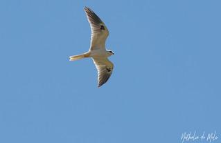 gavião-peneira (Elanus leucurus) - White-tailed Kite