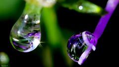 Two drops - 4080 (YᗩSᗰIᘉᗴ HᗴᘉS +9 500 000 thx❀) Tags: drop droplet goutte pearl water eau macro supermacro canon canoneos7dmarkii hensyasmine yasminehens 7dwf