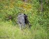 Half Hiding (maureen.elliott) Tags: wildlife grizzlybear bears cubs family animals jaspernationalpark alberta babies
