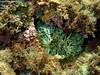 Anemone bruno (Valentina Underwater) Tags: anemone animal green colors underwater sea italy