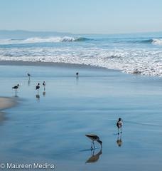 Scavenger Hunt (Maureen Medina ArtiZenImages Photography) Tags: california ca sandiego northern coast ocean pacific beach shore water waves curlew longbilled group feedingshoreline maureenmedina artizenimages