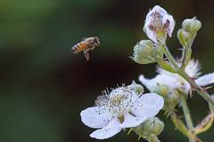 Honey bee (Minicooperd) Tags: