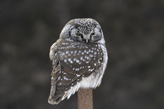 Boreal Owl (hd.niel) Tags: boreal owl nature wildlife photography ontario