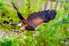 Female Harris Hawk, Akari in Flight (Dakiny) Tags: 2017 autumn october japan kanagawa yokohama asahiward park city street outdoor zoo yokohamazoologicalgardens zoorasia creature animal bird nikon d750 sigma apo 70200mm f28 apo70200mmf28exdgoshsm sigmaapo70200mmf28exdgoshsm nikonclubit