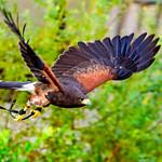 Female Harris Hawk, Akari in Flight thumbnail