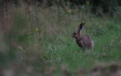 hare (m.macik) Tags: hare wildlife nature animal hunting green grass forest liptov slovakia canon sigma120400