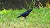 Carrion crow (marieckejanssen) Tags: zwarte kraai carrion crow vogel black noir corvus corone grass gras blindphotographer