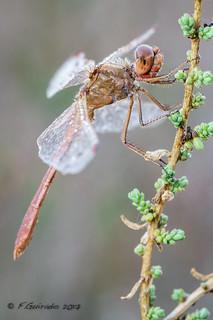 Dragonfly zombie