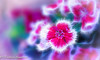 Look .. and See.. (frederic.gombert) Tags: miraflores flower flowers light color red pink sun sunlight eyelet macro lima peru sony