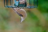 Just Hangin' (Deepgreen2009) Tags: hanging nuthatch small feeder sinuous garden twisting nuts