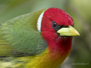 Red-headed Barbet (Eubucco bourcierii) male-macho