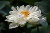 Flor de Lotus (Nelumbo nucifera) (Eden Fontes) Tags: jardimbotânico nelumbonucifera flor rj jbrj flordelotus riodejaneiro