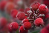 Frost berries (blancobello) Tags: frost ice berries beeren rot red macro 100mm kristalle sony 6500