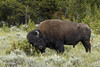Scratch That Itch_T3W0487 (Alfred J. Lockwood Photography) Tags: alfredjlockwood nature wildlife bisonbison bull itch scratch profile meadow forest yellowstonenationalpark summer overcast chaparral wyoming