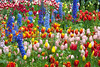 7778Spring17 (Robin Constable Hanson) Tags: blue yellow delphinium flowers gardens green horizontal pink red spring tulips