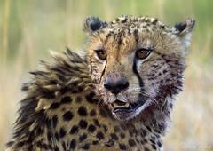 Beautiful creature (Sumarie Slabber) Tags: cheetah blood wildlife wild cat welgevonden safari animal nature sumarieslabber closeup