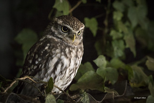Little Owl_MG_7571
