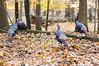 Flock of turkeys (markie623) Tags: turkey nature metropark wildturkeys wild
