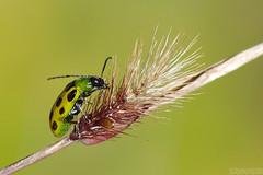 Autumn Snacking (Vie Lipowski) Tags: spottedcucumberbeetle diabroticaundecimpunctata beetle bug insect grass backyard garden autumn wildlife nature macro