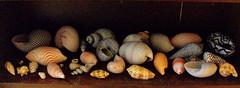 Seashells Shelf