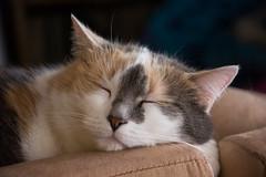 Mimi (bertrandwaridel) Tags: 2017 echallens march mimi switzerland vaud winter calico cat sofa suisse