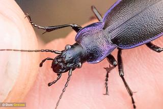 Violet ground beetle II