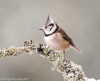 crested tit in ...Snow!