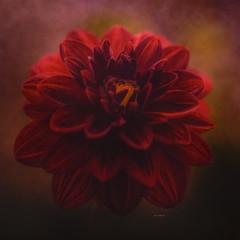 Red Dahlia (jm atkinson) Tags: hss slider sunday texturebyjaijohnson reddahlia flora macro joanmatkinson maine carolesgarden